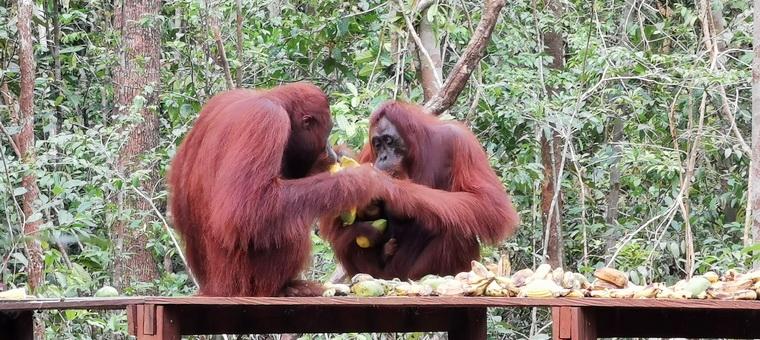 Orangoetangs